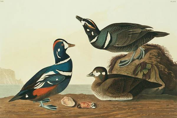 Aquatint Photograph - Harlequin Ducks by Natural History Museum, London/science Photo Library