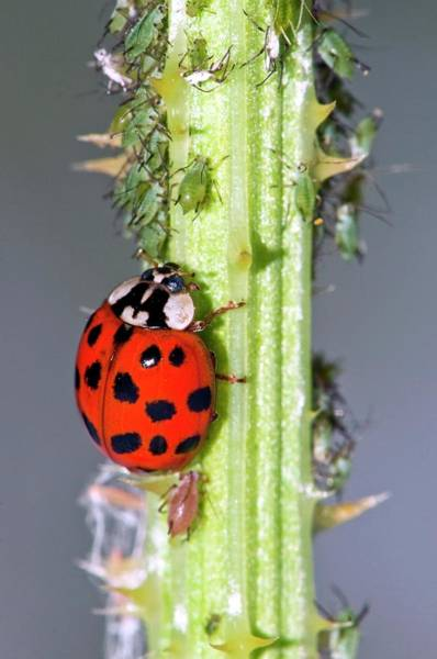 Introduced Species Photograph - Harlequin Ladybird And Aphids by Dr. John Brackenbury/science Photo Library