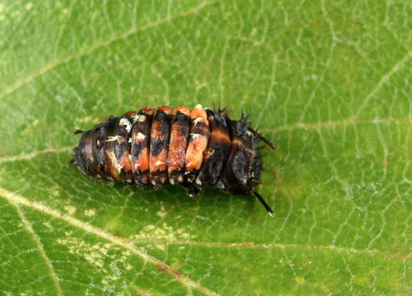 Coleoptera Photograph - Harlequin Ladybird Larva Early Pupating by Nigel Downer