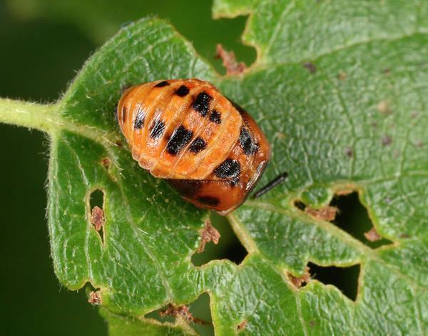 Pupa Photograph - Harlequin Ladybird Larva Late Pupating by Nigel Downer