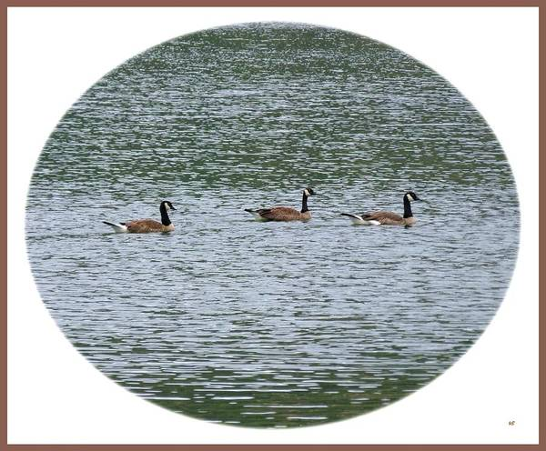 Photograph - Harmonious Canada Geese by Will Borden