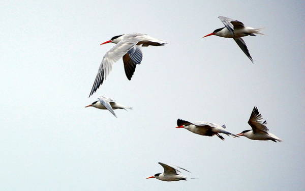 Photograph - Harmony In Flight by AJ  Schibig