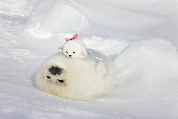 Stuffed Animal Photograph - Harp Seal Pup And Stuff Seal Toy by Keren Su