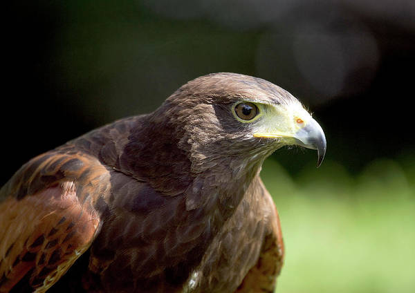 Falconiformes Photograph - Harris Hawk by John Devries/science Photo Library