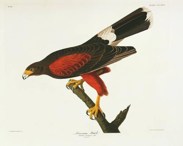 Aquatint Photograph - Harris Hawk by Natural History Museum, London/science Photo Library