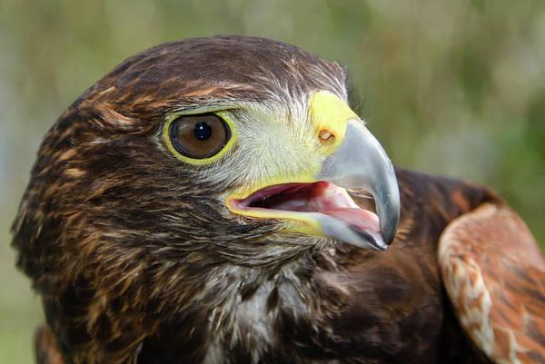 Squawk Photograph - Harris Hawk by Nigel Downer