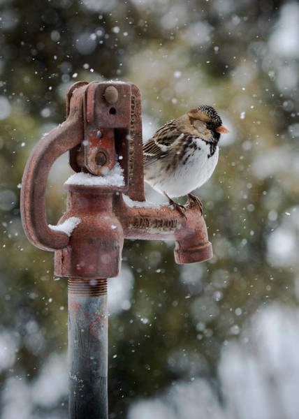 Water Hydrant Photograph - Harris Sparrow by Larry Pacey