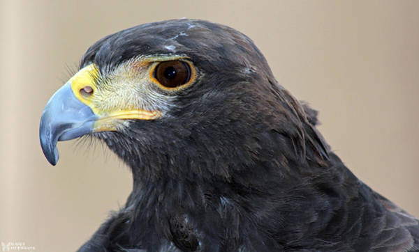 Photograph - Harris's Hawk by Elaine Malott