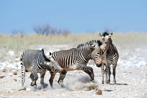 Hoof Photograph - Hartmann's Mountain Zebra Dueling by Tony Camacho