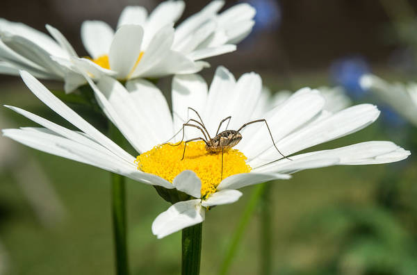 Harvestman Photograph - Harvastman On Daisy by Douglas Barnett