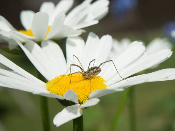 Harvestman Photograph - Harvastman On Daisy Looking For Food by Douglas Barnett