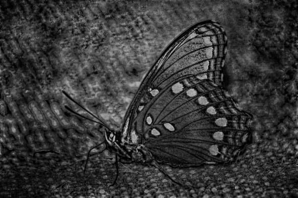 Photograph - Harvest Butterfly 2 Bw by Lesa Fine