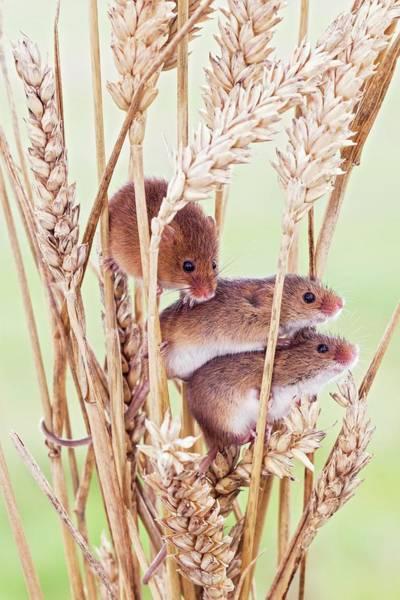 Animal Kingdom Wall Art - Photograph - Harvest Mice On Wheat by John Devries