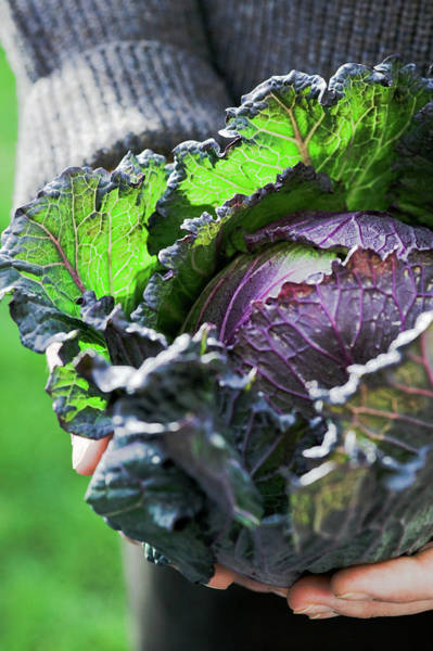 January Photograph - Harvested Cabbage by Gustoimages/science Photo Library