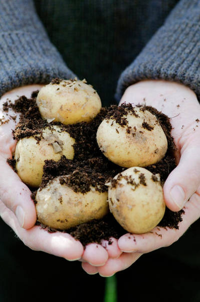 Tubers Photograph - Harvested New Potatoes by Gustoimages/science Photo Library