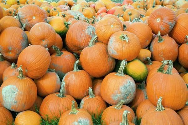 Cucurbita Wall Art - Photograph - Harvested Pumpkins by Jim West