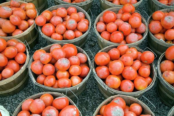 Cucurbita Wall Art - Photograph - Harvested Tomatoes by Jim West