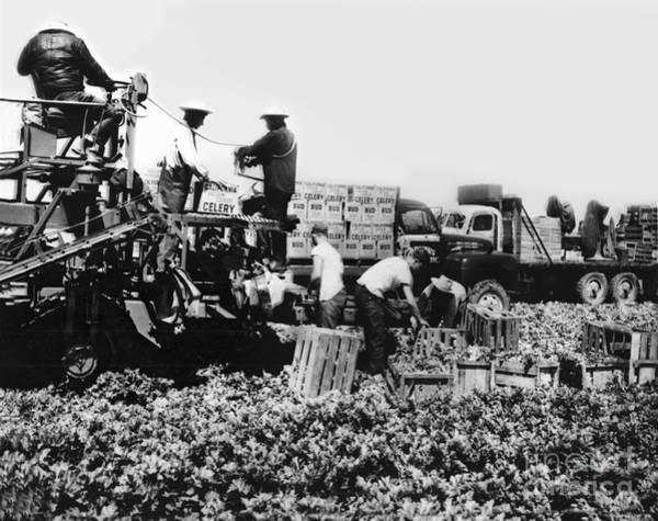 Photograph - Harvesting Bud Celery In The Salinas Valley California Circa 1950 by California Views Archives Mr Pat Hathaway Archives