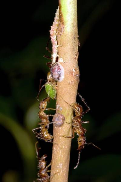 Larva Wall Art - Photograph - Harvesting Honeydew by Dr Morley Read/science Photo Library