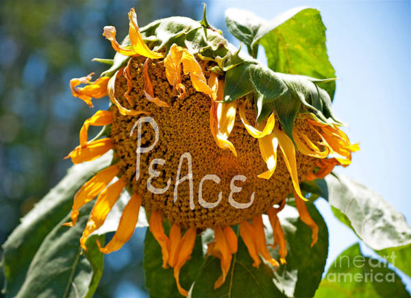 Sunflower Seeds Photograph - Harvesting Peace by Gwyn Newcombe