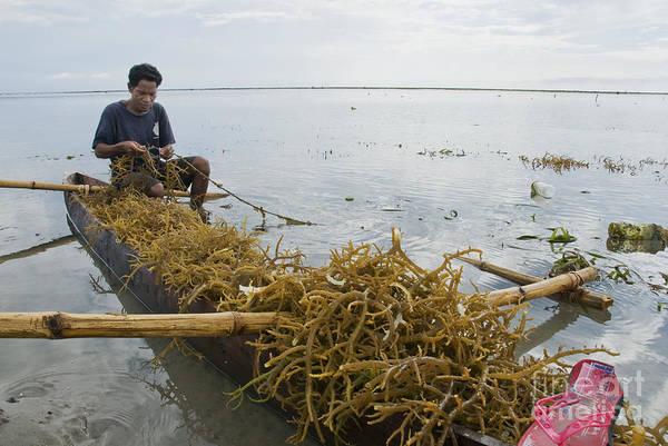 Photograph - Harvesting Seaweed Off Atauro Island by Dan Suzio