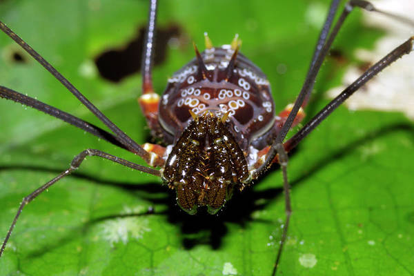 Harvestman Photograph - Harvestman by Dr Morley Read/science Photo Library