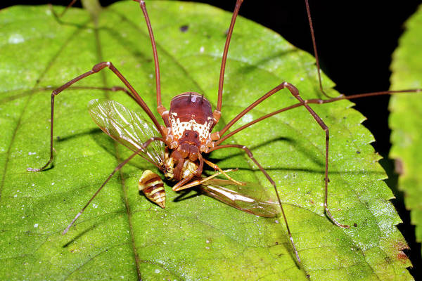 Harvestman Photograph - Harvestman Feeding On A Wasp by Dr Morley Read/science Photo Library