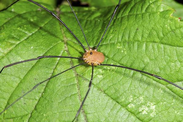 Harvestman Photograph - Harvestman Missing A Leg by John Devries/science Photo Library