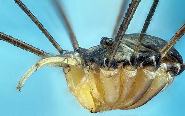 Biological Photograph - Harvestman by Nicolas Reusens