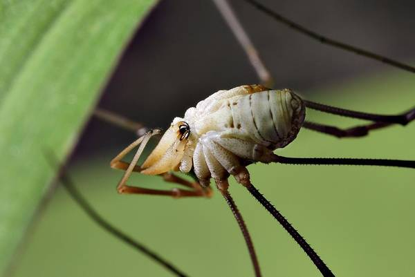Harvestman Photograph - Harvestman by Science Photo Library