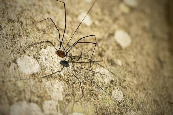 Harvestman Photograph - Harvestman Spider by Chevy Fleet