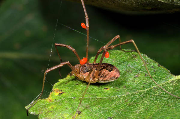 Arachnids Wall Art - Photograph - Harvestman With Mites by Nigel Downer