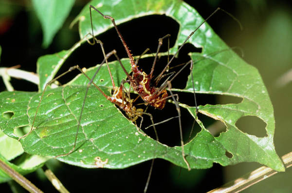 Harvestman Photograph - Harvestmen Mating by Sinclair Stammers/science Photo Library