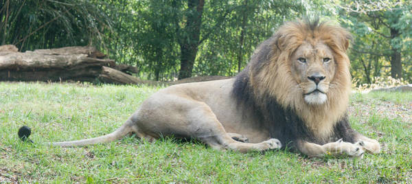 Photograph - Hassan The Lion by Chris Scroggins