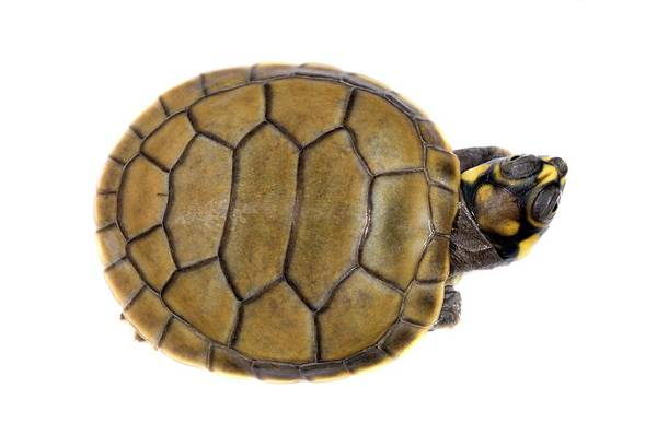 Turtle Photograph - Hatchling Yellow-spotted River Turtle by Sinclair Stammers/science Photo Library