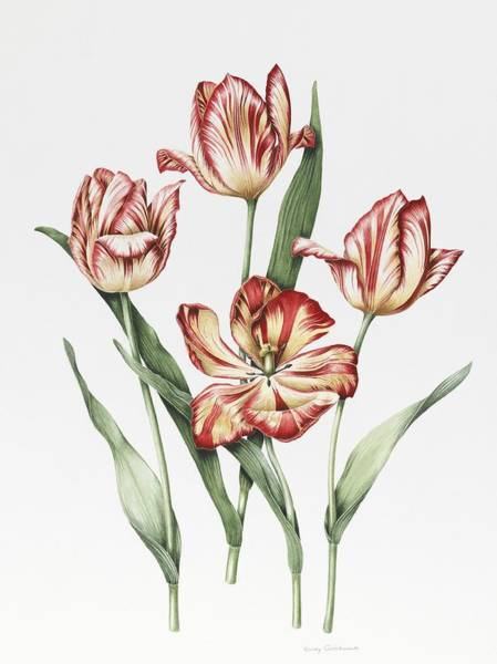 Wild Life Painting - Hatfield Tulip by Sally Crosthwaite
