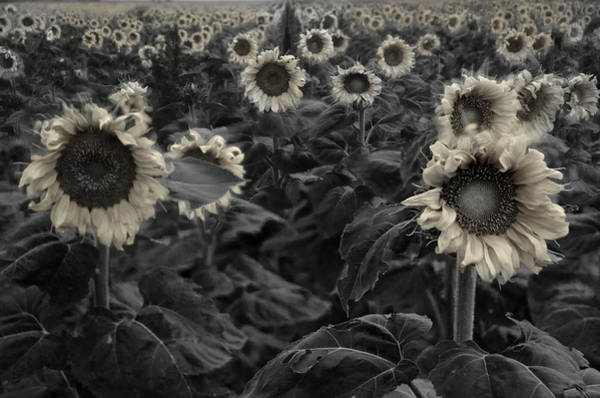 Wall Art - Photograph - Haunting Sunflowers Field 3 by Dave Dilli