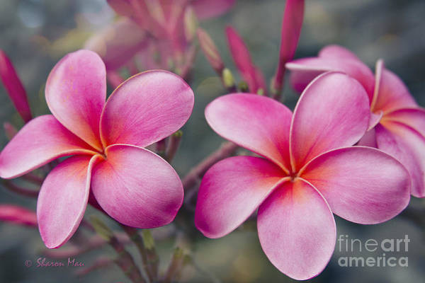 Melia Photograph - Hau'oli Ka La Aloha Kakou by Sharon Mau