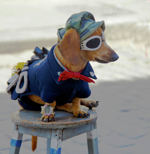Wall Art - Photograph - Havana, Cuba Dog Dressed-up by Marilyn Parver