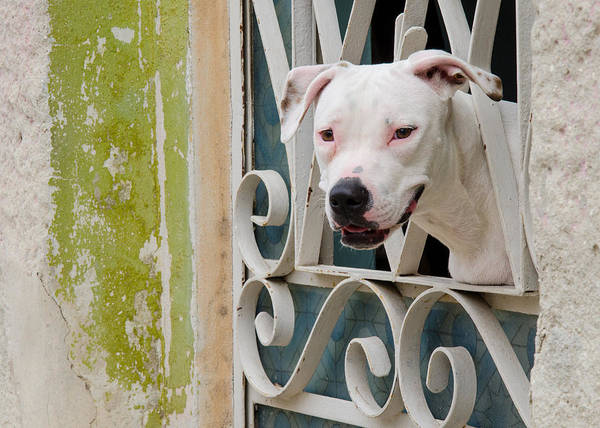 Photograph - Havana Watchdog by Rob Huntley