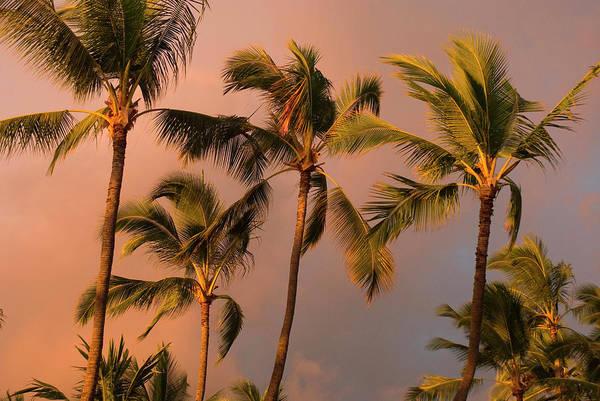 Breeze Photograph - Hawaii, Big Island, Kona,  Palm Trees by Inger Hogstrom