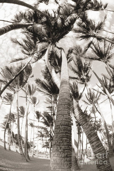 Wall Art - Photograph - Hawaii, Big Island, South Kohala, Palm Grove, Trees Twisted Around Each Other _black And White Photograph_ by Philip Rosenberg