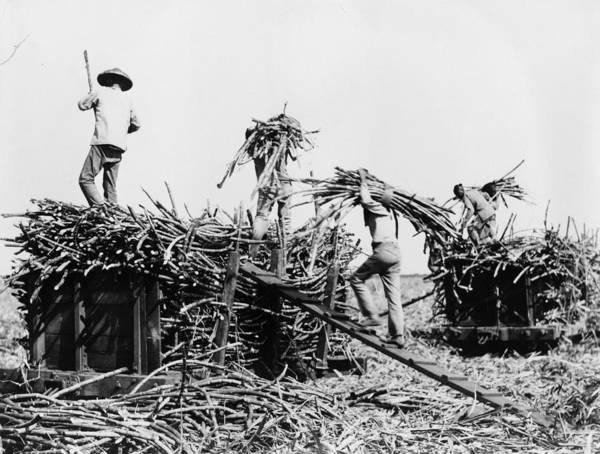 Wall Art - Photograph - Hawaii Sugar Cane, C1917 by Granger