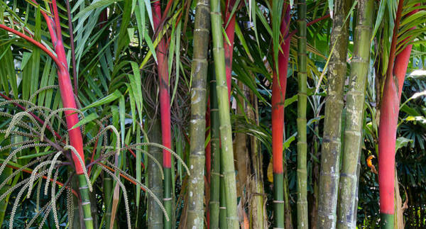 Allerton Garden Photograph - Hawaiian Bamboo Kauai by Sam Amato