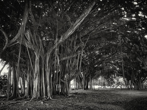Indian Banyan Photograph - Hawaiian Banyan Tree Root Study by Daniel Hagerman