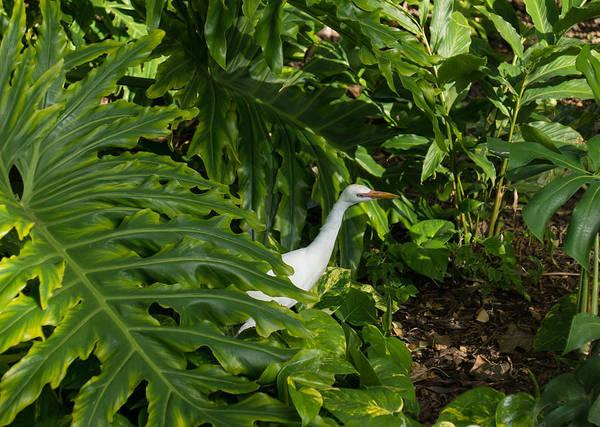 Photograph - Hawaiian Garden Visitor - A Bright White Egret In The Lush Greenery by Georgia Mizuleva