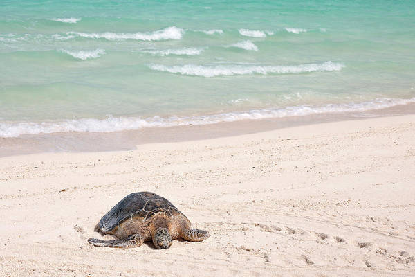 Conserved Photograph - Hawaiian Green Turtle / Chelonia Mydas by Daisy Gilardini