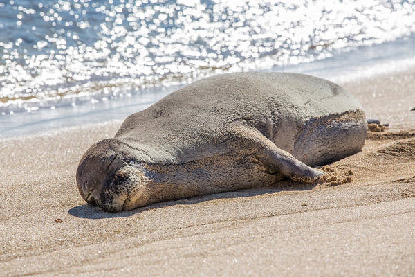 Photograph - Hawaiian Monk Seal by Pierre Leclerc Photography