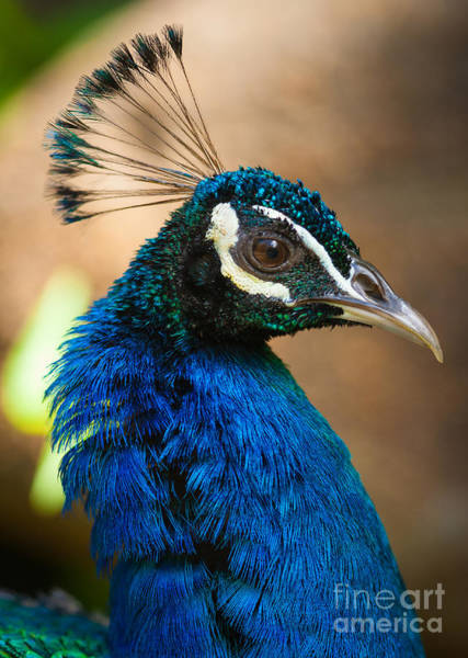 North American Wildlife Wall Art - Photograph - Hawaiian Peacock by Inge Johnsson
