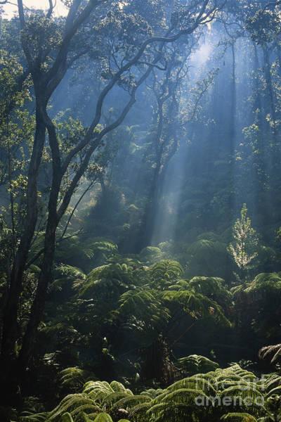 Ohia Photograph - Hawaiian Rainforest by Gregory G. Dimijian, M.D.